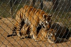 Tigers mating - fence